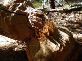 Felling a tree beaver style