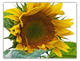 aug 22 sunflower