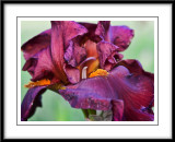 may 27 more iris