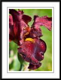 may 27 iris
