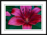 june 18 asian lily