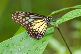 Parantica aspasia aspasia(Yellow Glassy Tiger)