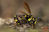 Syrpidae, Ceriana sp