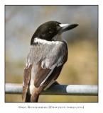 Grey Butcherbird 1