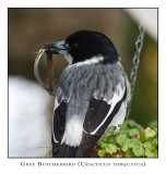 Grey Butcherbird 2