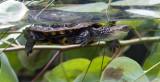 Perth Zoo Wetlands  Enclosure Western Swap Turtle (?)
