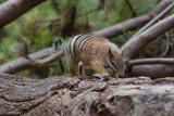 Perth Zoo Numbat