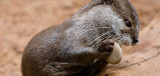 Perth Zoo Short Clawed Asian Otter