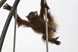 Perth Zoo Orangutan