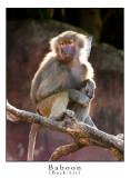 Baboon Back-lit.jpg