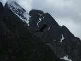 A Sea Eagle flying across background of Norwegian mountains