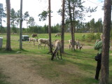 Reindeers have a vast area to roam freely in