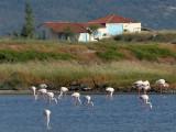 Greater Flamingo - Europese Flamingo - Phoenicopterus roseus