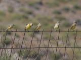 Yellow Wagtail - Gele kwikstaart - Motacilla flava