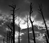 The skeletons of dead trees reach for light, Eastern Shore, Virginia, 2010.jpg