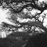 Scrub oaks, North Pond, Pea Island NWR, North Carolina, 2010.jpg