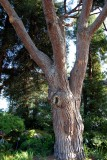 Norwegian Pine
