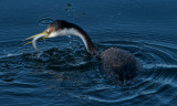 Western Grebe with catch (anchovy)
