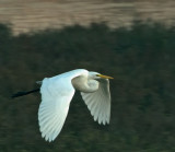Great White Egret in flight (late in day)