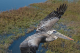 On the wings of a California Brown Pelican