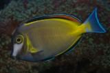 Powderbrown surgeonfish - Acanthurus japonicus