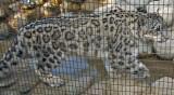 Snow Leopard (cub)