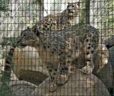 Snow Leopard (cubs)