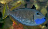 triggerfish (what kind?)