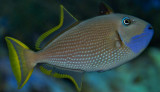 Blue cheek Triggerfish