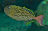 Crosshatch triggerfish / Xanthichthys mento