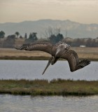 California Brown Pelican diving
