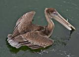 California Brown Pelican - Got more than fish :-)