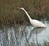 Egret stalking