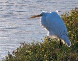 Egret, backlighted in wind