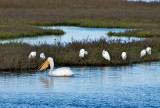 White Pelican (foreground)