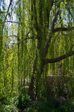 Weeping Willow (Descanso Gardens)