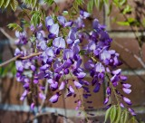 A Wisp of Wisteria at Descanso Gardens