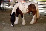 Gypsy horse