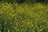 Fields of mustard