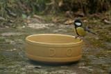Great Tit on the Dog Bowl