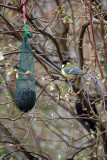 Great Tit by the Peanuts