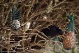 Female Blackcap  Male Blackbird Feeding