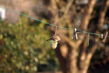 Blackcap on Fat Ball on Washing Line 02