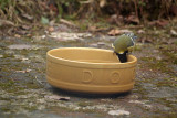 Great Tit on the Dog Bowl 03