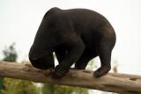 Malayan Sun Bear 01