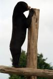 Malayan Sun Bear 02