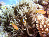 Anemone Fish  Antheas in Anemone 02