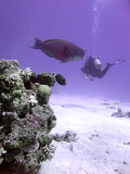 Diver and Parrotfish