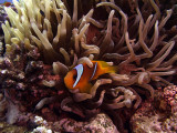 Two-Banded Anemonefish in Anemone  - Amphiprion Bicinctus 05