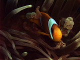 Two-Banded Anemonefish in Anemone  - Amphiprion Bicinctus 07